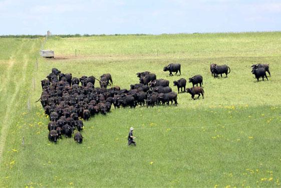 Broughton Water Buffalo